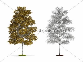 European White Birch Tree.