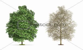Chestnut Tree.