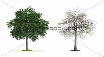 Lebanon Cedar Tree.