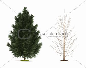 Black Pine Tree.