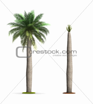 Wine Palm Tree.