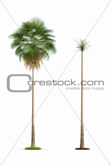 Fan Palm Tree.