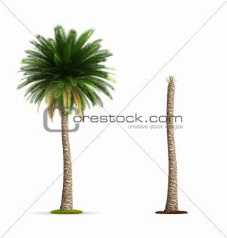 Date Palm Tree.