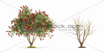 Bottlebrush Tree.