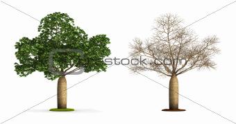 Australian Boab Tree.
