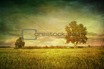 Beautiful summer fields of wheat