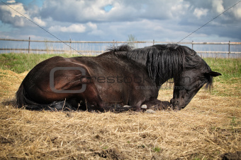 Black horse lying on the straw