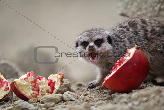 Meerkat eats a pomegranate