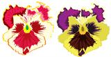 Vector flower pansy
