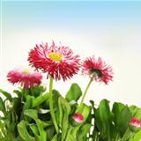 Floral Flower Daisy Border