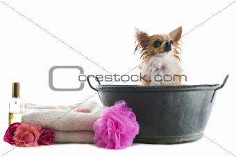 bath for chihuahua