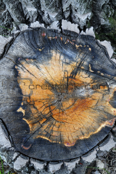 Aspen tree stump close up