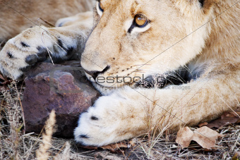 Attentive lion cub playing with rock