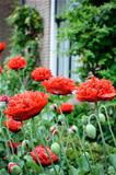 Red poppies in backyard