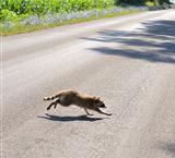 Raccoon Crossing The Road