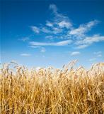 gold ears of wheat under deep blue sky