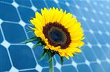 Sunflower and solar panels