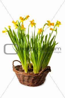 daffodils boquet in the basket, isolated