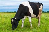 Cow grazing on a fresh pasture