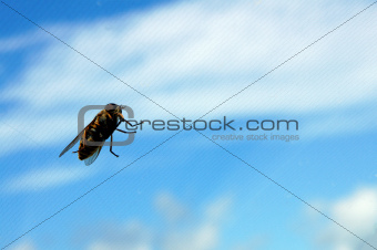 Bee and sky