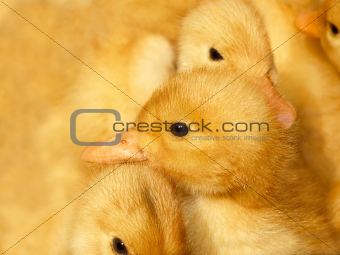 Small ducklings on yellow