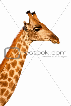 African Giraffe isolated on white background