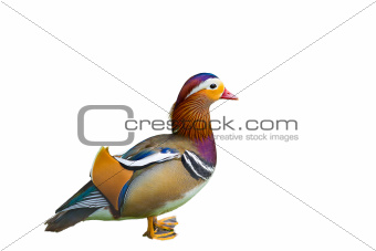 Beautiful Chinese Duck Isolated