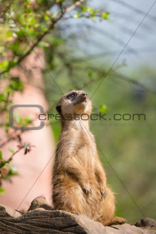 Meerkat watching the sky