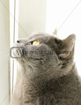 British blue cat with orange eyes