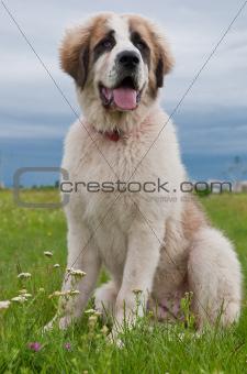 Portrait of Bucovina shepherd dog sitting