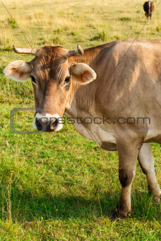 Portrait of brown cow gazing to the camera