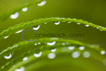 Droplets on green leafs