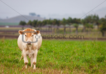 Cow in green paddock