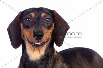 Beautiful dog teckel, dachshund smiling