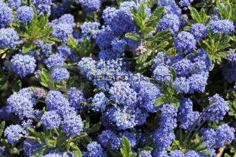 Blue Ceanothus Flowers