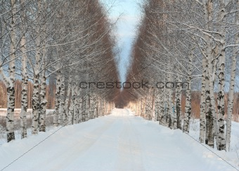 Beautiful winter road and white winter birches