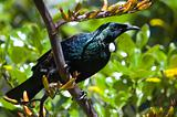 Tui bird sitting on a flax plant