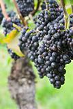 Vineyard of with red grapes