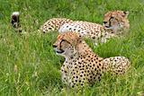 Cheetahs