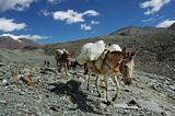 Horses of a trekker group