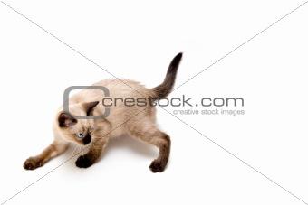 Furtive Kitten