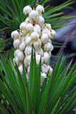 Yucca baccata Flower 