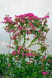 Trained Bougainvillea