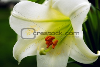 Amaryllis Flower and Pollen