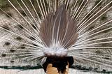 peacock's butt