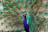 peacock dance attracting peahen