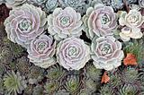 Succulents