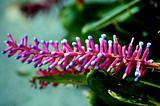 Comb Flower