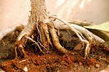 Bonsai Plant roots