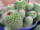 Cactus Plants
